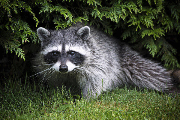 Racoons may be cute, but they can wreak havoc with freshly planted sod.
