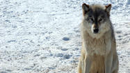 Group files petition against wolf legislation