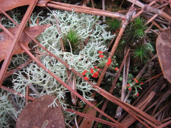 Photo: reindeer moss, British soldier lichen and haircap moss.