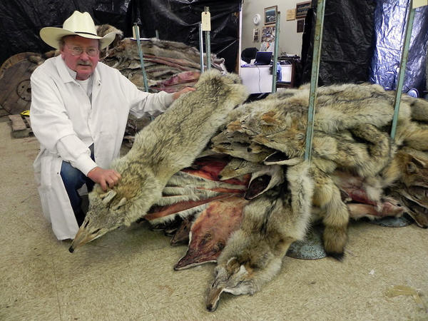 Jim Beadle, owner of Beadle Fur Trading & Brokerage in Aberdeen, holds up a coyote pelt to be sent to Cabela's to be used for trim on parka hoods.