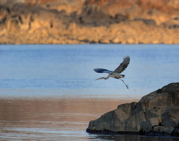 Great blue heron takes wing on the Susquehanna River below Conowingo Dam. New federal report details widespread bay contamination and impacts seen in fish, wildlife.