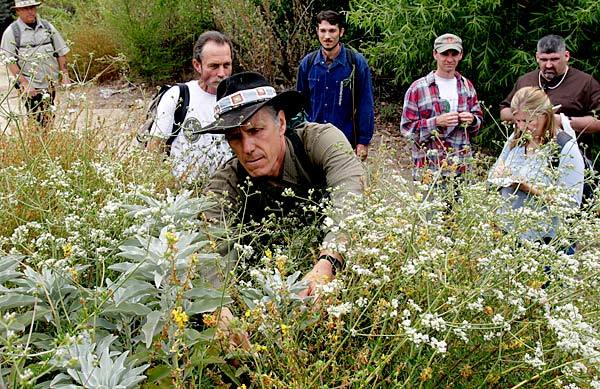 Christopher Nyerges picks white sage on a class hike in Hahamongna Watershed Park in Pasadena.