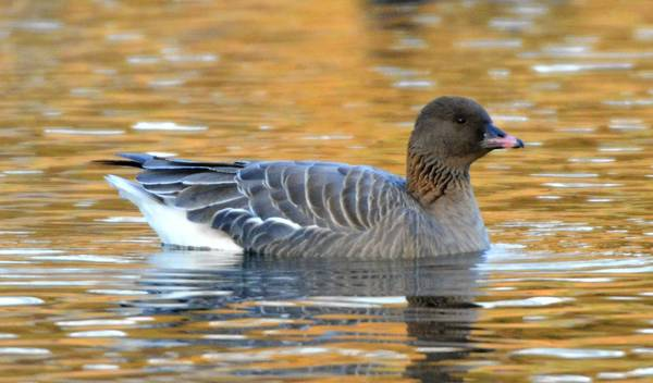 A pink-footed goose, normally found only in Greenland and Europe, at Lake Muhlenberg.