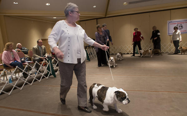 "Pauline De Vito of Orwigsburg, Schuylkill County, competes with ""Sherry,"" her 1 year-old Bulldog at the Lenape Bulldog Club of Pennsylvania Specialty Dog Show at the Best Western Lehigh Valley in Bethlehem on Sunday."