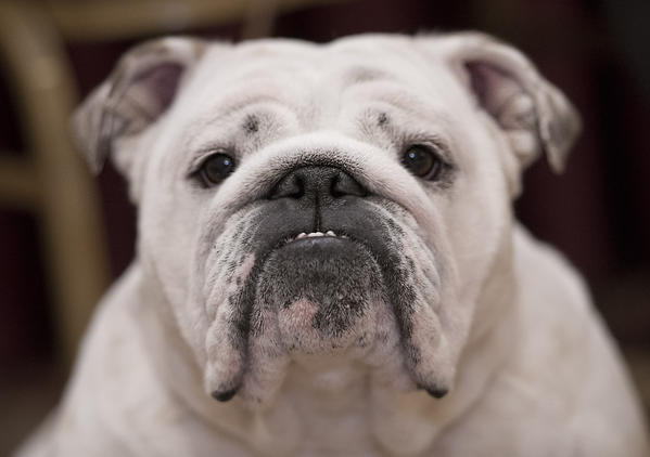 """Hazel,"" a 19-month-old Bulldog belonging to Karen Peterson of St James, Long Island, prepares to compete at the Lenape Bulldog Club of Pennsylvania Specialty Dog Show at the Best Western Lehigh Valley in Bethlehem on Sunday."