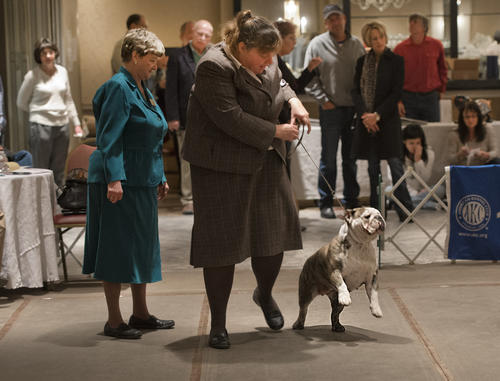 Diane Nelson of Spencer, New York wins a fist with Lola, in the Bred-By Exhibitor, Bitches category of at the Lenape Bulldog Club of Pennsylvania Specialty Dog Show at the Best Western Lehigh Valley in Bethlehem on Sunday.