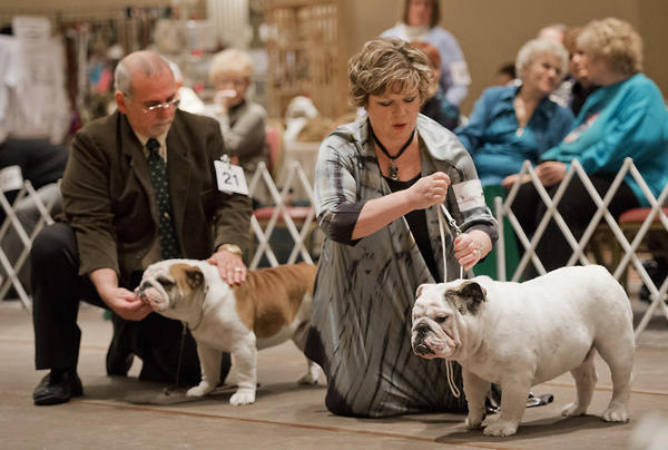 James Cardello of Londonderry, New York (left) and Linda Ludovico of Millstone Twp., New Jersey, compete with their animals in the 9-months and under puppy category at the Lenape Bulldog Club of Pennsylvania Specialty Dog Show at the Best Western Lehigh Valley in Bethlehem on Sunday.