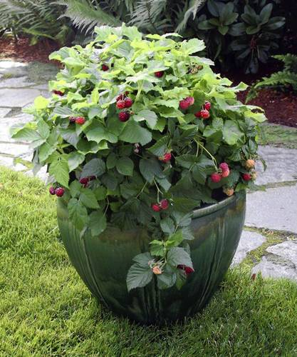 Ornamental veggies will star in potted gardens. The compact, thornless Raspberry Shortcake is part of the Brazelberries collection of Fall Creek Farm in Oregon.