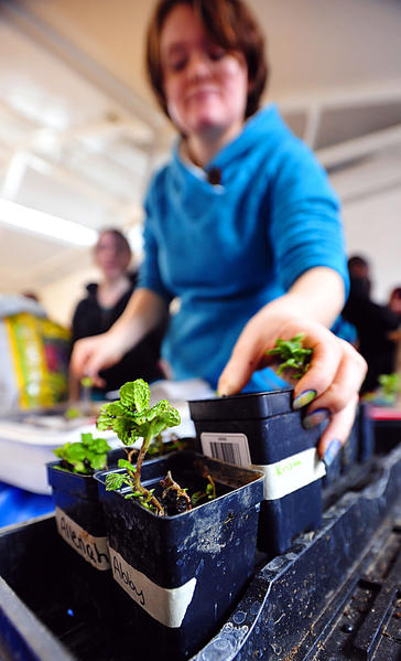 Saint Maria Goretti student Ellie Didden stacks newly-potted mint plants Monday at the Martinsburg Boys & Girls Club. Club members potted the plants and then took them home to transplant.