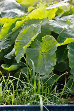 Taro plants in December at Ocean View Farms in Mar Vista.