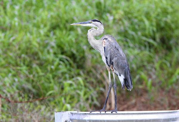 A heron surveys a canal in the Lake Apopka Restoration Area.Some argue that a proposed airport could have an adverse effect on the environment surrounding the lake, a debate which will continue at a summit Feb. 8.