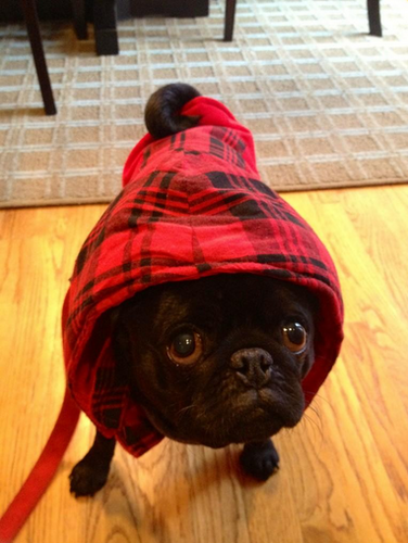 """Rizzy all bundled up for walk #coldchidogs"""