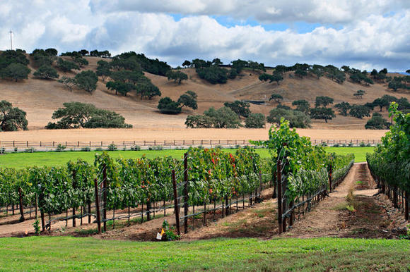 Rows of grapevines line the Santa Ynez Valley.