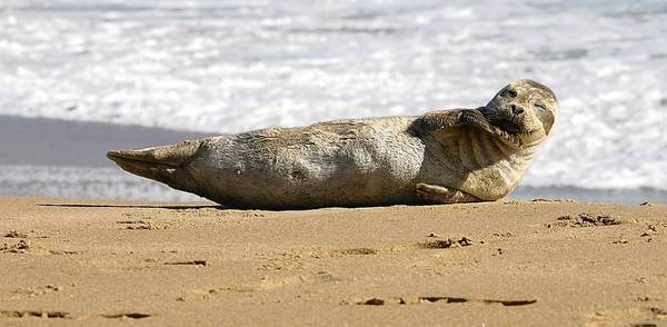 Adult harbor seal
