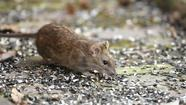 Make rat eradication a priority in the county