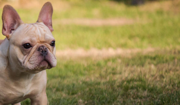 A French bulldog, a part of the group Laguna Beach Frenchies!