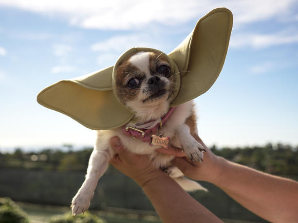 Yoda, a Chihuahua mix who lives in Burbank, is featured in a commercial that may run during the Super Bowl as part of an advertising competition sponsored by Doritos.