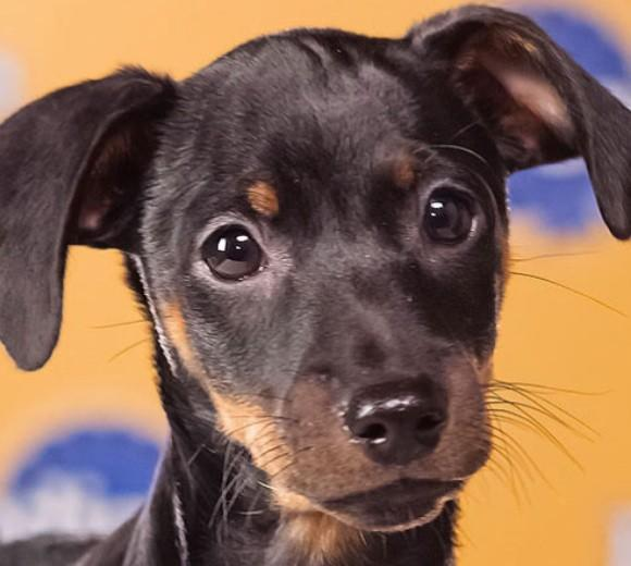 'Puppy Bowl IX': Meet the 2013 starting lineup: Breed: Miniature Pinscher  Age: 9 weeks