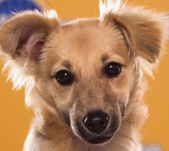 'Puppy Bowl IX': Meet the 2013 starting lineup: Breed: Long-Haired Chihuahua mix  Age: 4 months