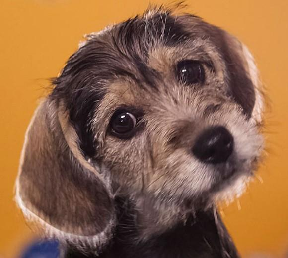 'Puppy Bowl IX': Meet the 2013 starting lineup: Breed: Schnauzer/Beagle mix  Age: 10 weeks