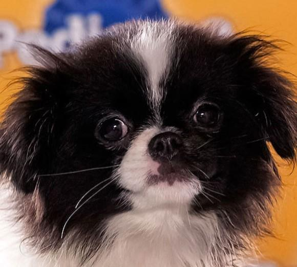 'Puppy Bowl IX': Meet the 2013 starting lineup: Breed: Japanese Chin  Age: 8 weeks