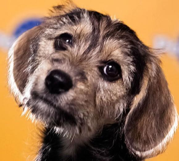 'Puppy Bowl IX': Meet the 2013 starting lineup: Breed: Schnauzer/Beagle mix