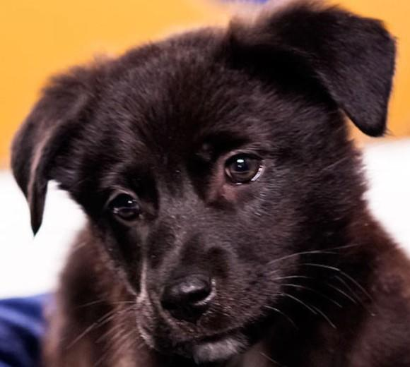 'Puppy Bowl IX': Meet the 2013 starting lineup: Breed: Chow Chow/Labrador Retriever mix  Age: 11 weeks