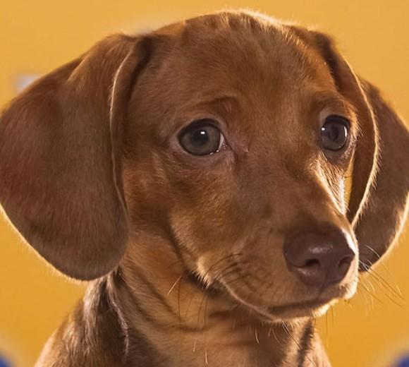 'Puppy Bowl IX': Meet the 2013 starting lineup: Breed: Chocolate Dachshund Smooth  Age: 12 weeks