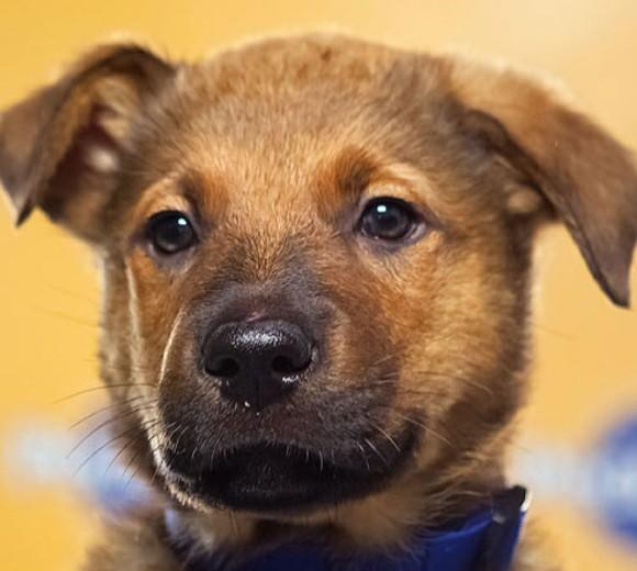 'Puppy Bowl IX': Meet the 2013 starting lineup: Breed: German Shepherd/Pit Bull mix  Age: 10 weeks