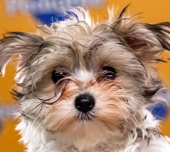 'Puppy Bowl IX': Meet the 2013 starting lineup: Breed: Yorkshire Terrier  Age: 12 weeks