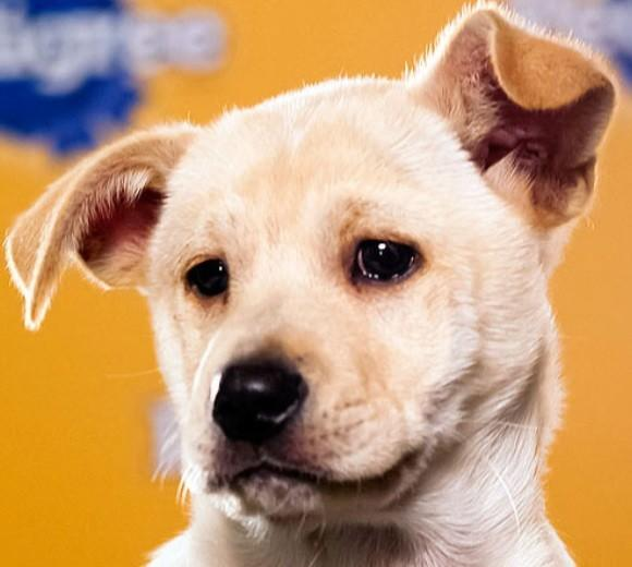 'Puppy Bowl IX': Meet the 2013 starting lineup: Breed: Dachshund/English Pit Bull mix  Age: 9 weeks