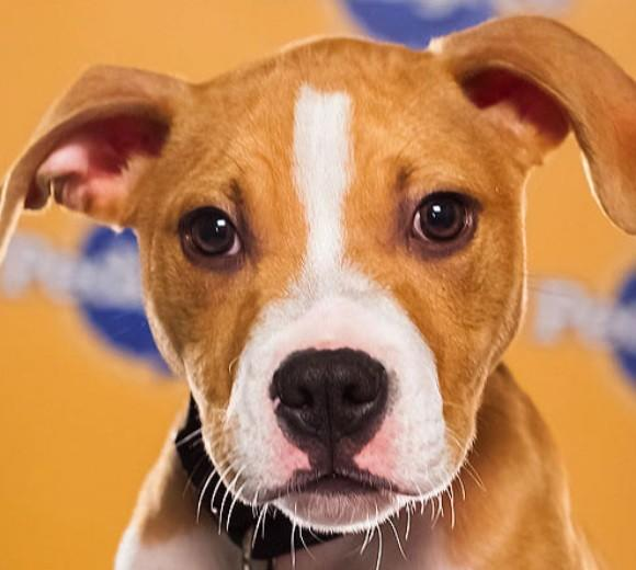 'Puppy Bowl IX': Meet the 2013 starting lineup: Breed: Pit Bull  Age: 15 weeks