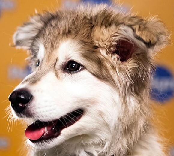 'Puppy Bowl IX': Meet the 2013 starting lineup: Breed: Siberian Husky/Retriever mix  Age: 10 weeks