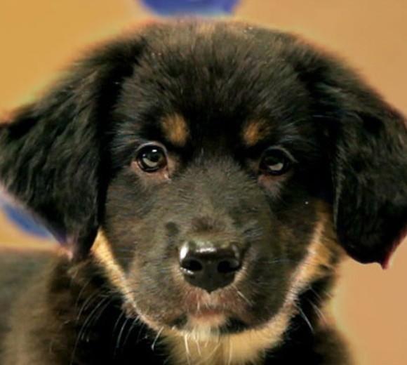 'Puppy Bowl IX': Meet the 2013 starting lineup: Breed: Australian Shepherd/Catahoula Mix  Age: 9 weeks
