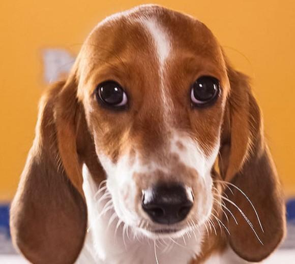 'Puppy Bowl IX': Meet the 2013 starting lineup: Breed: Dachshund/Basset Hound mix  Age: 12 weeks