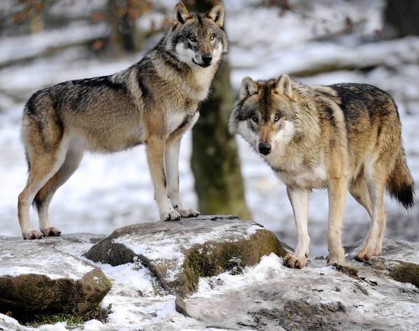 Gray wolves in Rhodes, France. The new analysis examined a mix of DNA from 12 gray wolves and compared it with DNA collected from 60 domestic dogs from 14 breeds.