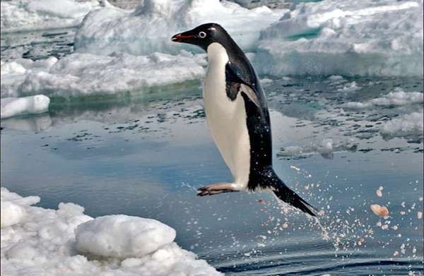 An Adelie penguin exits the water in Paulette Bay, Antarctica. A new study outfitting Adelie penguins with cameras and accelerometers reveals their hunting prowess.