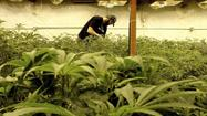 The DEA's marijuana mistake