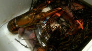 Boston mayor pays off losing bet, lobsters arrive at Baltimore City Hall