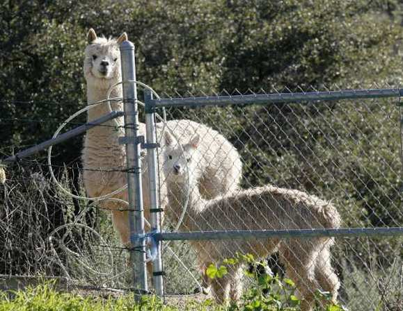 Two alpacas, Mr. Honeysuckle and Peaches, on the land of William Johnson in La Canada on January 2, 2013.