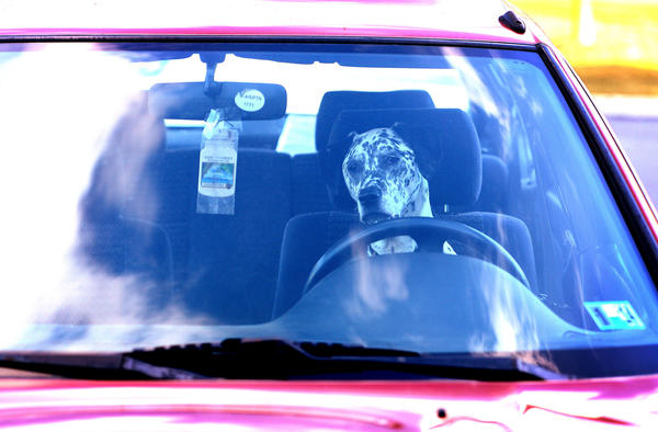 A dalmatian dog waits for his owner by sitting in the front seat of the car at a restaurant along rt. 145 in Walnutport Thursday afternoon.