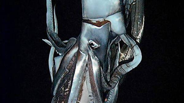 A giant squid stars in this still image taken from the footage Edie Widder shot. It's the first-ever video of a giant squids, and it'll debut in a Discovery Channel documentary airing in late January.