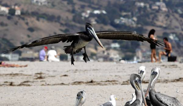A pelican glides in for a landing at Malibu Lagoon State Beach. The accounting scandal at the California parks department will end without a criminal investigation, law enforcement officials said this week.