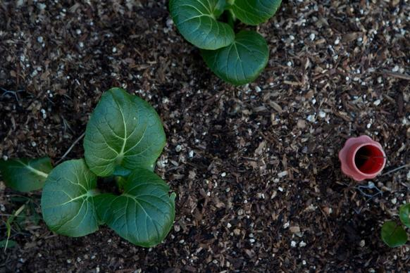 Tender bok choy plants rise in Phyllis Hauser's garden bed. The red plastic pipe not only helps to anchor chicken wire buried as pest deterrent in the soil, but also acts as a water delivery system to the lower levels of the garden bed soil.