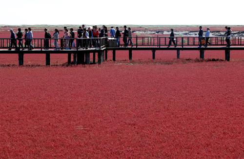 In the spring, the seaweed starts off green and reddens as fall approaches. Its vermillion color peaks sometime in September.