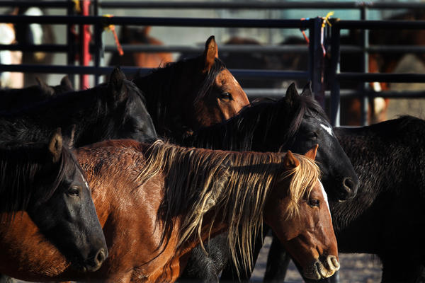 A wild horse roundup in Nevada.