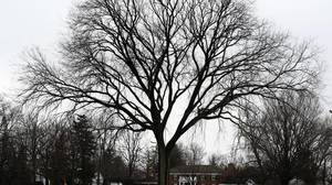 Lake Zurich arborist says winter is ideal tree time