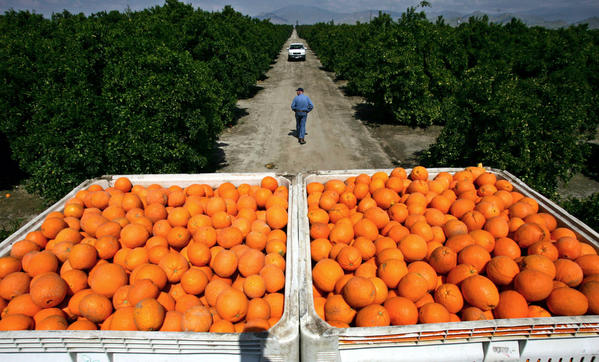 Oranges picked from a grove in Orange Cove in California's Central Valley. Researchers say the irrigation of the Central Valley increases rainfall in the interior Southwest and the flow of the Colorado River.