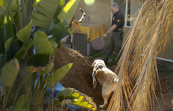 A member of the Orange County sheriff's search and rescue team works with his cadaver dog, Charlee, in an effort to find more human remains in the yard of a Santa Ana home on Monday. The current owners were doing some landscaping Sunday afternoon when they discovered a skull and other human remains.