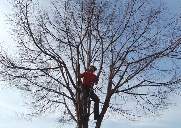 Jamey Schwartz from Cumberland Valley Tree Service of Chambersburg, Pa., trims a tree on East Main Street in Waynesboro, Pa., on Tuesday.